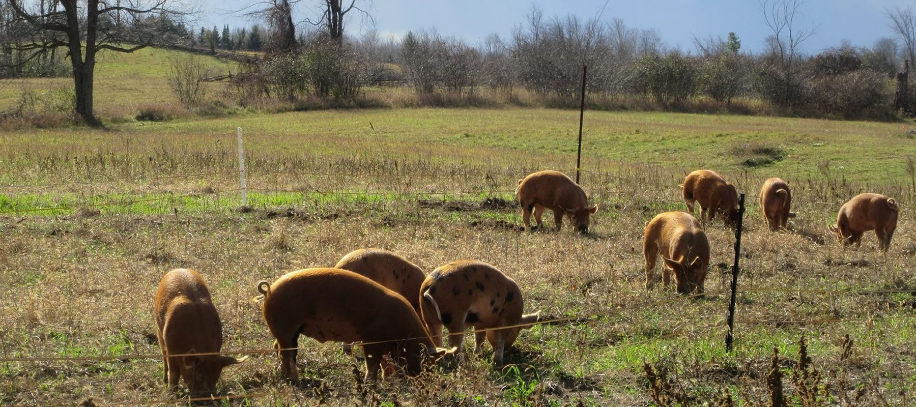 pigs grazing at the farm